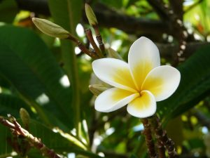 Anchor the scent of the Frangipani flower
